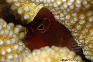Arch Eye Hawkfish hiding in the coral. by Stuart Ganz