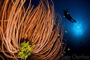 Crinoid in Whips by Tony Cherbas
