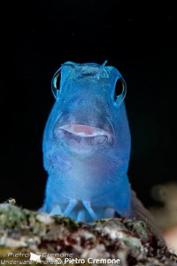 Blue blenny by Pietro Cremone
