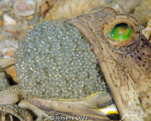 Jawfish fanning its eggs for a couple of seconds. by Ximena Olds