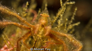 Orang-utan Crab.