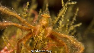 Orang-utan Crab. Tulamben night dive.  Canon 600 D - C... by Ahmet Yay
