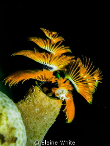 Christmas tree worms by Elaine White