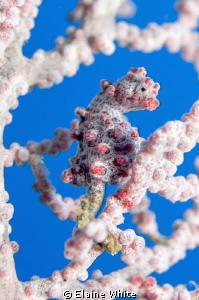Pygmy Seahorse, Raja Ampat by Elaine White