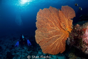 Gorgonian by Stan Flachs