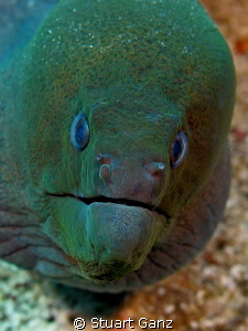 Green old man eel. by Stuart Ganz