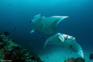 Manta couple by Raffaele Livornese