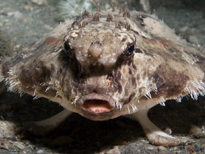 "Roughback Batfish taken ""Under the bridge"" by Beate Seiler"