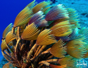 Social Feather Dusters filtering the clear Caribbean wate... by Steven Anderson