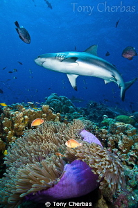 Fly By: Gray Reef Shark and Anemone by Tony Cherbas