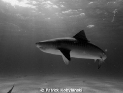 Tiger Shark; Tiger Beach - Bahamas by Patrick Kobylanski