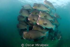 Group of bumphead parrotfish by Oscar Miralpeix