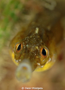 Mediterranean Pipefish by Oscar Miralpeix