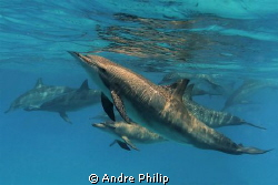 a spinner dolphin family in a lagoon of sataya - egypt by Andre Philip