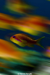 anthias movie!!!! by Fabrizio Pompilio