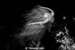 Nudi by Timucin Ucar