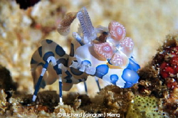 HarleQueen.  I have seen Harlequin shrimps many times.  B... by Richard (qingran) Meng