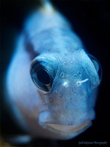 Fringed Blenny by Iyad Suleyman