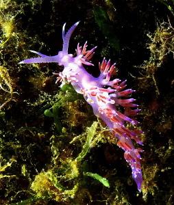 Flabellina affinis Punta Coticcio, Isola Caprera by Chris Krambeck