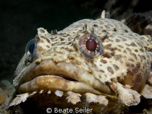 Leopard Toadfish , taken at the Jettys in Panama City Beach by Beate Seiler