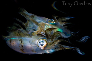Squid to Dissolve by Tony Cherbas