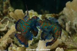 Mandarin Fish Fitting by Lionel De Landtsheer