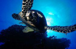 Turtle - Red Sea - Deep South Egypt Nikonos V - 20mm lens by Eduardo Lima