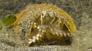 Little octopus. Bali, Menjangan Canon 600 D - Canon 60 ... by Ahmet Yay