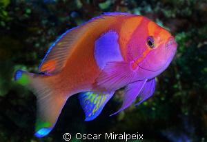 Colourfull anthyas by Oscar Miralpeix