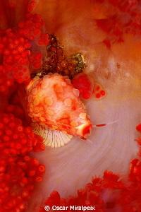 cyprea on soft coral by Oscar Miralpeix