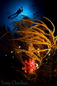 Soft Coral in Black Coral: Nikon D7000, Tokina 10-17 @ 10... by Tony Cherbas
