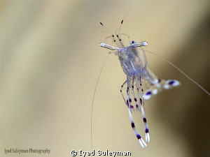 Flying Shrimp by Iyad Suleyman