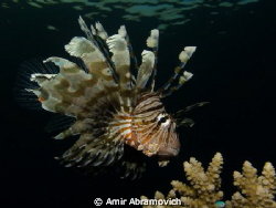 lion fish guarding its teritory -06:30 AM by Amir Abramovich