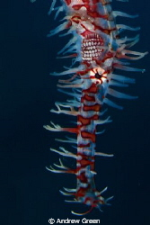 Ornate Ghost Pipefish Nauticam NA_D7000v 60mm macro lens by Andrew Green