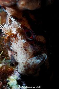 Blenny's portrait. by Ferdinando Meli