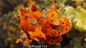 Little red frog fish is swimming...:)  Drop-Off, Bali ... by Ahmet Yay