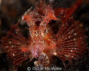 Ambon Scorpionfish by Oscar Miralpeix