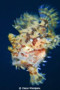 Sargasum frogfish (II) by Oscar Miralpeix