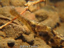 Pipefish Canon PoweShot G1X by Riza Taskin