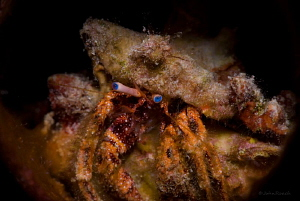 "Starry Eyed Hermit Crab.  ""Front Porch""  Boniare Dutch Ca... by John Roach"