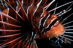 Lion fish - Red Sea - Deep South Egypt - Nikonos V - 35mm... by Eduardo Lima