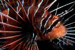 Lion fish - Red Sea - Deep South Egypt - Nikonos V - 35mm... by Eduardo Lima