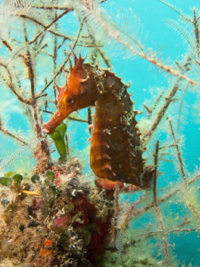 Seahorse at the Jetties Panama City Beach by Beate Seiler