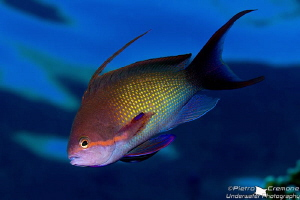 Swimming basslet by Pietro Cremone