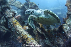 Hawksbill Turtle, USAT Liberty, Nauticam NA_D7000v Tokina... by Andrew Green