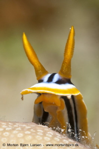 I waited half an hour until this Nudibranch came over a... by Morten Bjorn Larsen