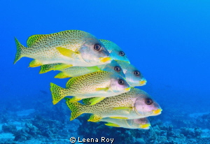 Sweetlips by Leena Roy