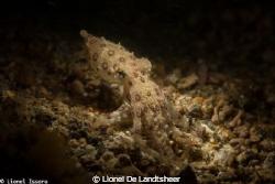Blue O-Ring Octopus by Lionel De Landtsheer