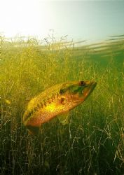 freshwater bass , south africa . d70 and fisheye, ambient... by Gregory Grant