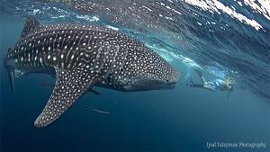"""Hey, small man, go away from my way!"" :-) Whale shark. by Iyad Suleyman"